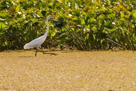 Great Egret, Dyke Marsh. Nikon D200, 75-300mm AF @300mm, ISO 400, f/8, 1/500 sec.