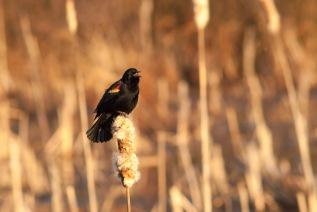 Red-winged Blackbird Singing, Huntley Meadows Park. Nikon D200, 75-300 AF @300mm, ISO 800, f/8, 1/500 sec.